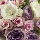 Närbild för nya rosor Royaltyfri Fotografi
