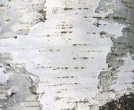 Närbild för papper för naturlig bakgrund för textur för björkskäll Royaltyfri Bild