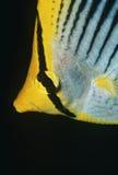 Närbild för Raja Ampat Indonesia Pacific Ocean fläck-svans butterflyfish (den Chaetodon ocellicaudusen) Arkivbild