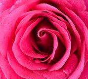 Närbild för rosa färgrosknopp petals steg arkivbild