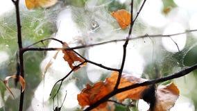 Närbild för spindelrengöringsduk i skogen arkivfilmer
