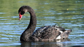 Närbild för svart svan Royaltyfria Bilder