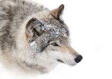 Närbild för timmervarg i vintersnö Royaltyfri Bild