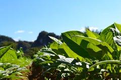 Närbild för tobakfält Fotografering för Bildbyråer