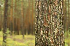 Närbild för trädstam mot en skogbakgrund Arkivbilder