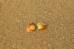 Närbild för två brun orange skal på en oskarp bakgrund av gul sand med små vita skal arkivfoto