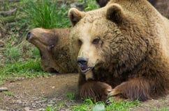 Närbild för två brunbjörnar Arkivfoton