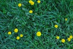 Närbild för växt av släktet Trifolium- och maskrosgräsmattafragment Bakgrund textur för modellen av socialt massmedia, eco shoppa royaltyfri fotografi