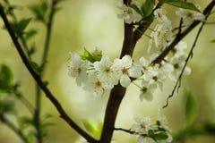 Närbild för vita blommor av ett blomstra träd i vår Royaltyfria Bilder