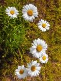 Närbild för vita tusenskönor utomhus på ett soligt Arkivfoton