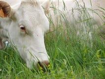 Närbild från den vita kon som äter på fält Royaltyfri Foto