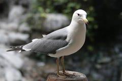 Närbild Grey Seagull fotografering för bildbyråer
