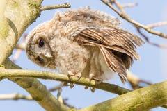 närbild 1 joung Tawny Owls royaltyfri bild