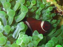 Närbild- och för makroskottanemon fisk, skönheten av undervattens- världsdykning i Sabah, Borneo royaltyfri bild