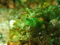 Närbild- och makroskottnudibranch, skönheten av undervattens- världsdykning i Sabah, Borneo arkivfoton