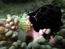 Närbild- och makroskottsnäckskal med ägg, skönheten av undervattens- världsdykning i Sabah, Borneo royaltyfri fotografi