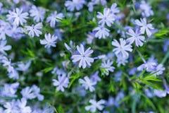 Närbild på blåa blommor Royaltyfri Fotografi