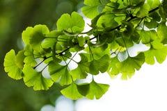 Närbild på det GinkgoBiloba trädet Royaltyfri Foto
