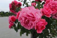 Närbild på härliga röda och rosa rosor på en buske i trädgård Arkivbilder