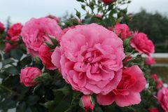 Närbild på stora röd-rosa färger rosor i trädgården Arkivbild