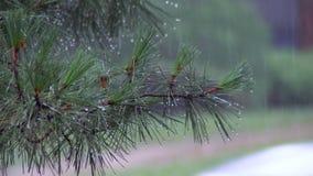 Närbild regnstekflott på banan sommarregn, en åskväder, en skurkroll i en pinjeskog, parkerar vatten i stora droppar stock video