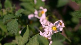 Närbild som blommar potatisar blekt - rosa blommor blommar på potatisbuskar på ett lantgårdfält V?xa f?r potatis avelpotatis stock video