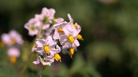 Närbild som blommar potatisar blekt - rosa blommor blommar på potatisbuskar på ett lantgårdfält V?xa f?r potatis avelpotatis lager videofilmer