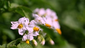 Närbild som blommar potatisar Blekt - rosa blommor blommar på potatisbuskar på ett lantgårdfält V?xa f?r potatis Föda upp potatis stock video