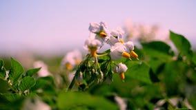 Närbild som blommar potatisar Blekt - rosa blommor blommar på potatisbuskar på ett lantgårdfält V?xa f?r potatis Föda upp potatis arkivfilmer