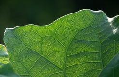 Närbild som skjutas av den bästa delen av det grandiflora bladet för Thunbergia med solljus från baksidan, klart sedd åder royaltyfri bild