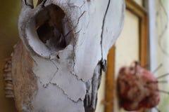Närbild som skjutas av den djura skallen Arkivfoton