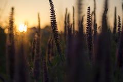 Närbild som skjutas av den vibrerande purpurfärgade örti sin helhet för mörk kontur som blommar på solnedgången fotografering för bildbyråer