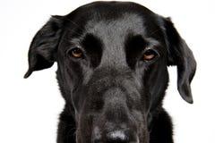 Närbild som skjutas av en svarta Labrador Royaltyfri Fotografi