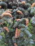Närbildbarrträd med massor av kottar arkivfoton