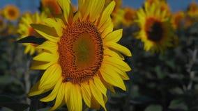 Närbildbiet sitter på en solrosblomma på ett fält och samlar nektar lager videofilmer