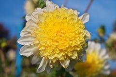 Närbildbild av dahliablomman som är kulör i vitt och gult royaltyfria bilder
