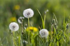 Närbildbild av ljusa gula blommande maskrosor och över blommade fluffiga blommor med ljusa vita frö och gräsplansidor på b Royaltyfri Fotografi