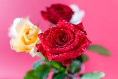 Närbildbild av små droppar på härliga blommande röda Rose Flower Royaltyfria Foton