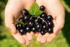 Närbildbilden av ungen räcker den hållande svarta vinbäret Ung flicka som rymmer svarta vinbär för nya bär efter skörd från trädg Arkivbild