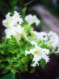 Närbildblommor av vita petunior växer i sommaren i trädgården arkivbilder