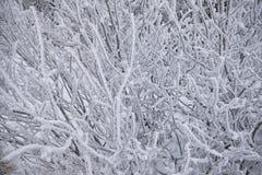 Närbildbuskar som täckas med snö Arkivfoton