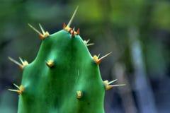 Närbilddetalj av kaktuns Arkivfoto