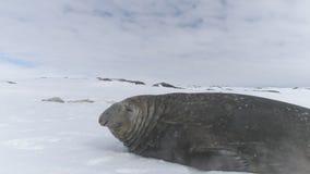 Närbildelefantskyddsremsa som ligger på snö _ arkivfilmer