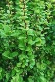 Närbilden av barberryen fattar berberisen thunberg en grön form in Arkivfoto