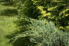 Närbilden av blåa för Ð'lue för enJuniperussquamataen visare matta mot bakgrunden av suddighetsThujaoccidentalis gulnar bandet royaltyfri bild