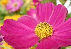 Närbilden av blommapollen bar vid biet för att föda upp arkivfoto