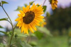 Närbilden av den blommande gula solrosen med solnedgånghimmel och sommar arbeta i trädgården i bakgrund arkivbild