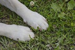 Närbilden av den gula framdelen för labrador` s tafsar Royaltyfri Bild