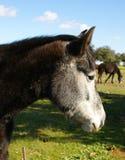 Närbilden av den härliga svarta hästen med vit och svart head Arkivfoton