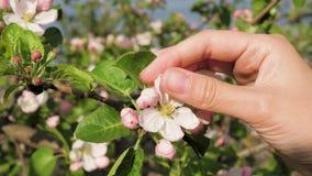 Närbilden av den kvinnliga handen trycker på kronbladen av att blomma den Apple blomman på våren stock video